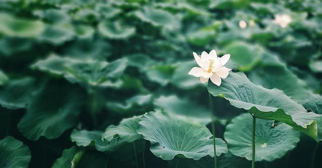 lotus-leaf-2423744_640.jpg