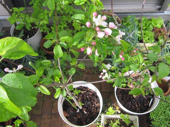 WEB_りんごの花
