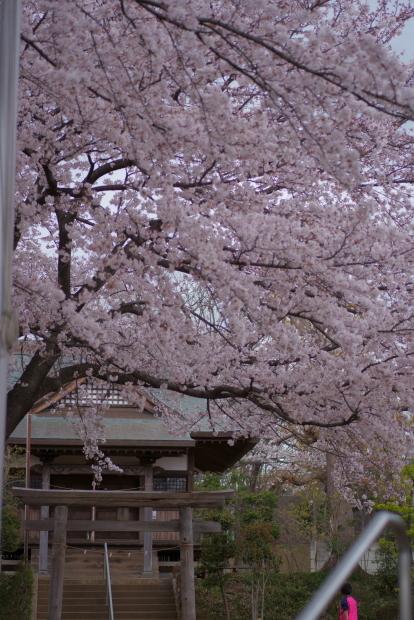 近所の桜202000084343