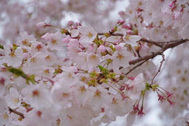 近所の満開の桜202000084392