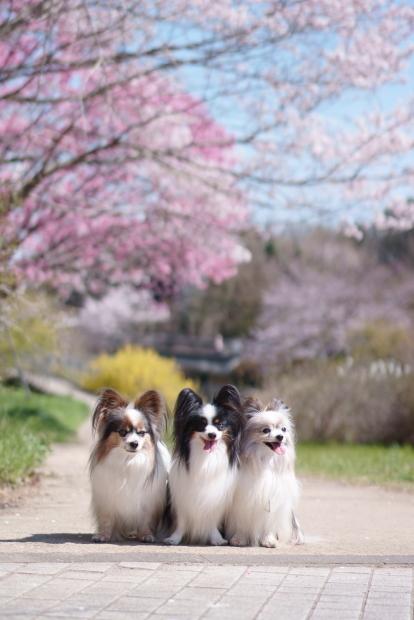 昭和記念公園の桜00084246