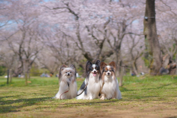 昭和記念公園の桜00084260