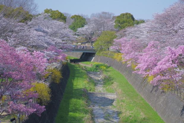 昭和記念公園の桜00084297