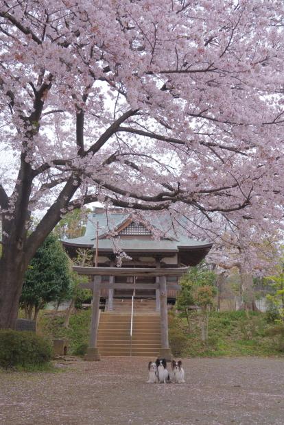 近所の満開の桜202000084404