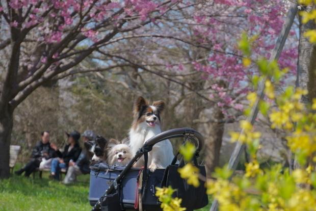 昭和記念公園の桜00084237