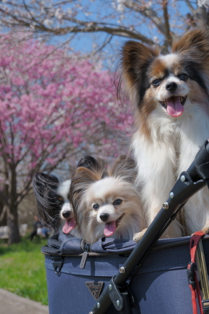 昭和記念公園の桜00084241