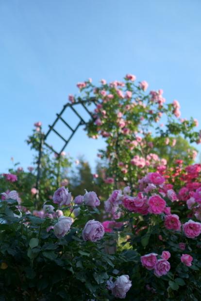 薔薇の公園満開00085171