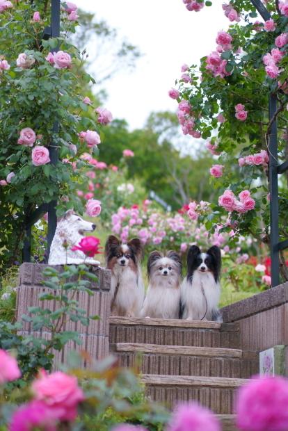 薔薇の公園満開00085184