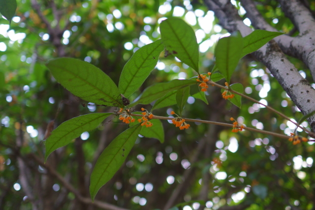 東高根森林公園金木犀00085632