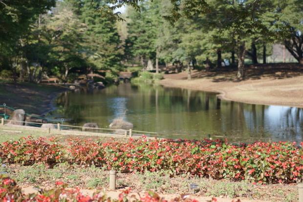 昭和記念公園コスモス202000086189