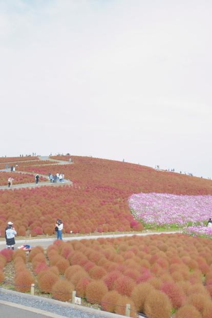 ひたち海浜公園コキア00086006