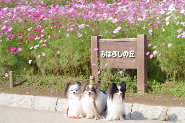 ひたち海浜公園コキア00086038