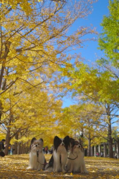 昭和記念公園 イチョウ202000085844