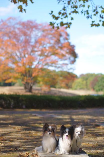 昭和記念公園 イチョウ202000085857