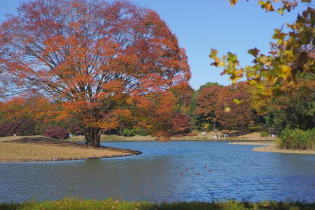 昭和記念公園 イチョウ202000085859