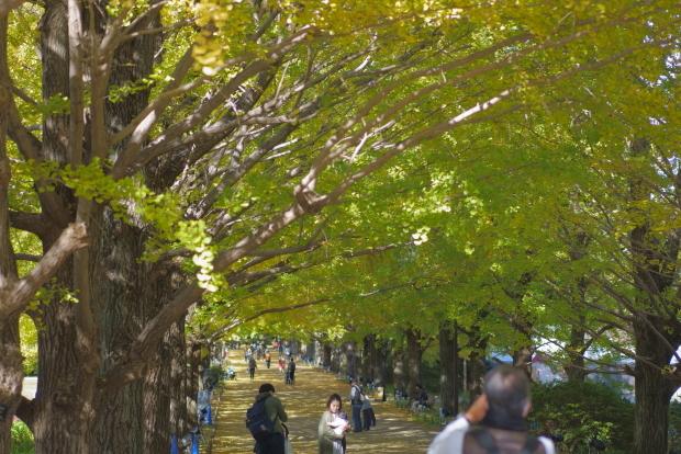 昭和記念公園 イチョウ202000085862