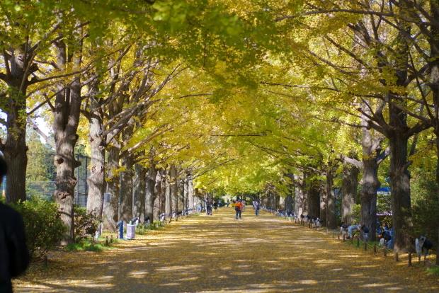 昭和記念公園 イチョウ202000085863