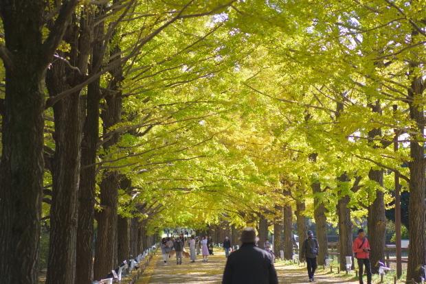 昭和記念公園 イチョウ202000085873