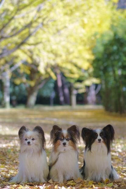昭和記念公園 イチョウ202000085903