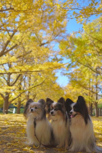 昭和記念公園 イチョウ202000085846
