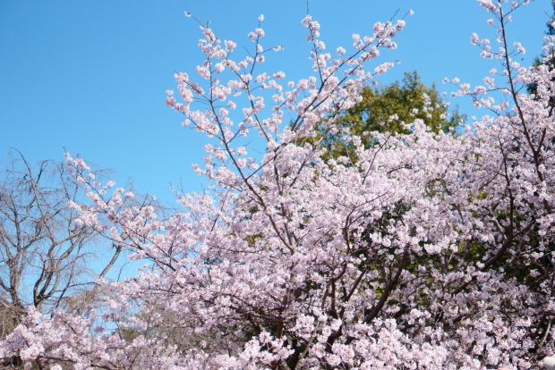 ふるさと公園玉縄桜00087985