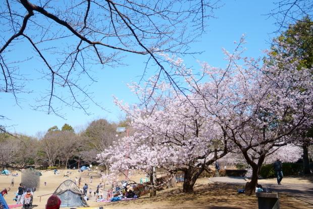 ふるさと公園玉縄桜00087982