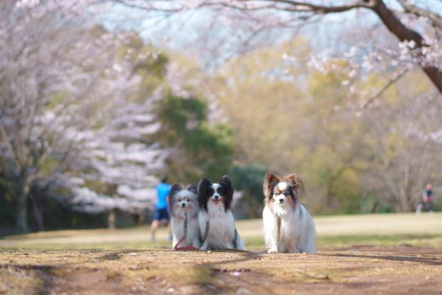 ふるさと公園の染井吉野00088152