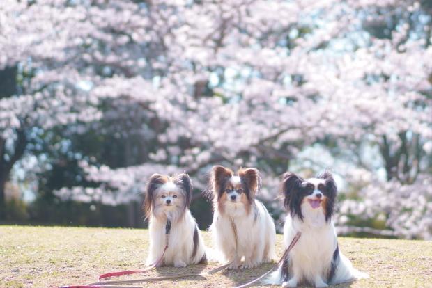 ふるさと公園の染井吉野00088154
