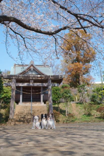 近所の桜100088166