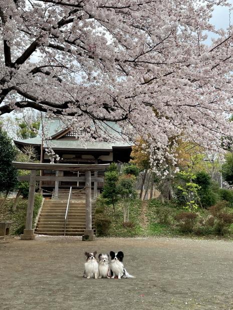 近所の桜200088622