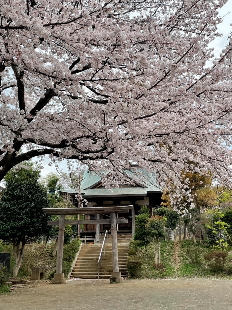 近所の桜200088625
