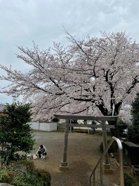 近所の桜200088620