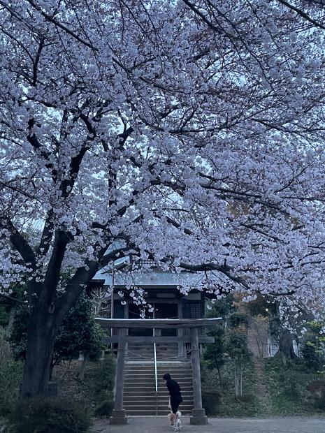近所の桜200088613