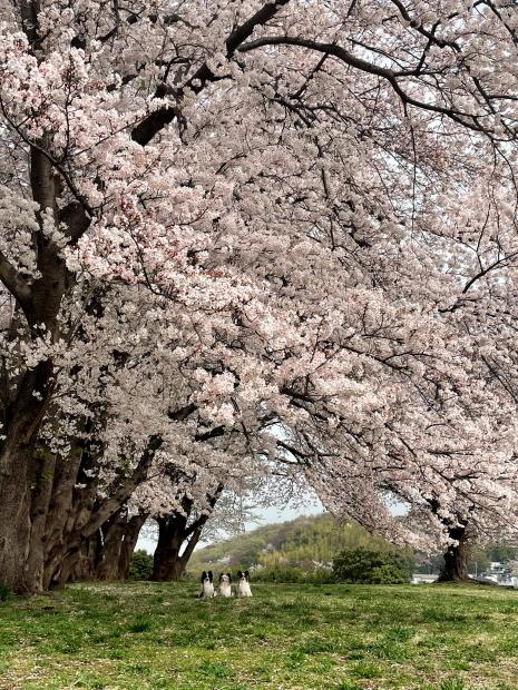 IMG_0079エルの桜