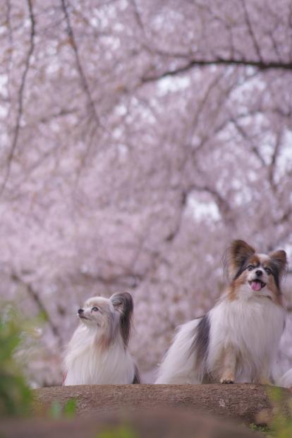 エルの桜202100088269