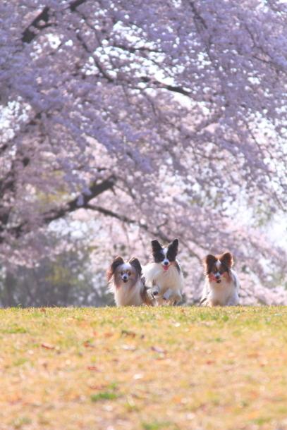 エルの桜201800045270