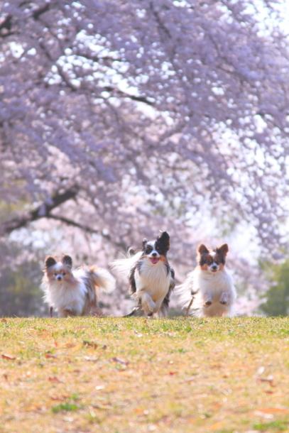 エルの桜201800045273