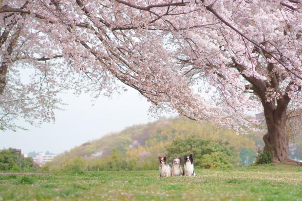 エルの桜202100088240
