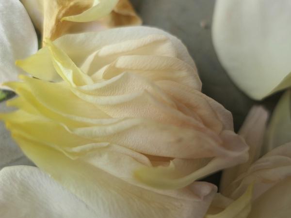 落花 バラ