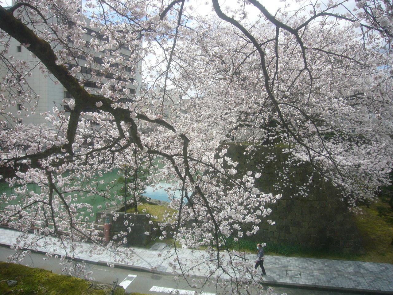 ただ桜 R2.3.31
