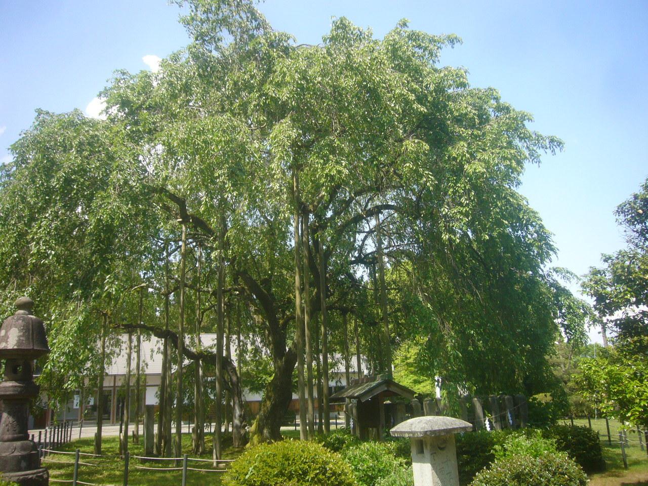姥桜から若桜へ R2.5.13
