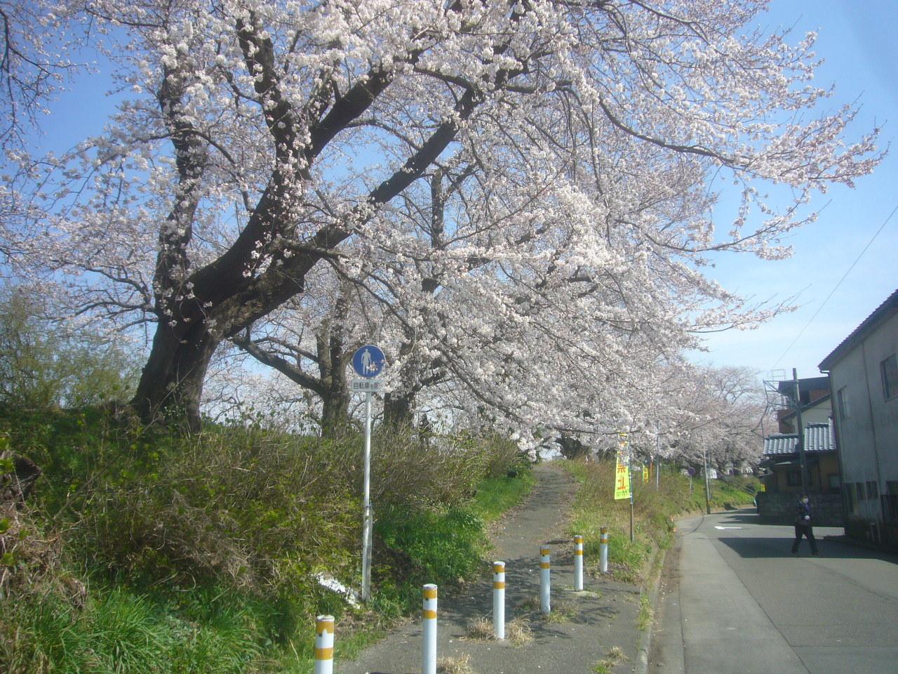 足羽川堤防 まもなくうば桜 R3.2.27