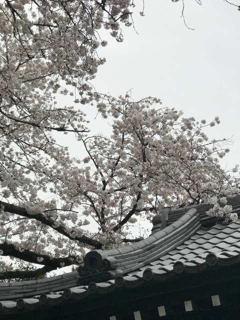 桜2021 ④