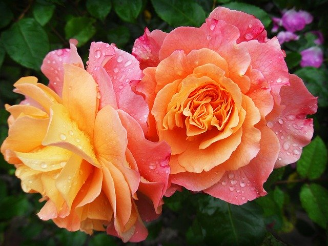 rose-174817_640.jpg