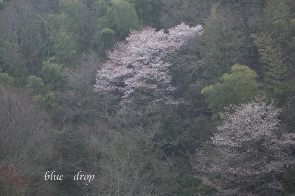 山桜咲く春