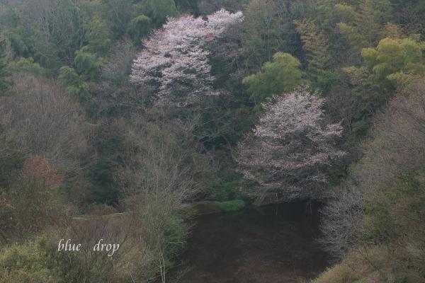 水辺の山桜