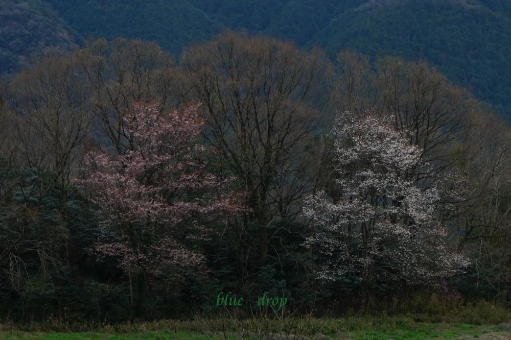 野辺に立つ桜