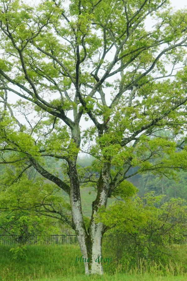 新緑の木*