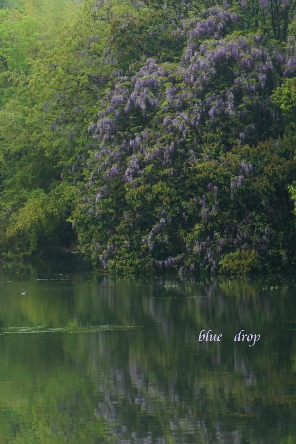 水辺に咲く藤花*