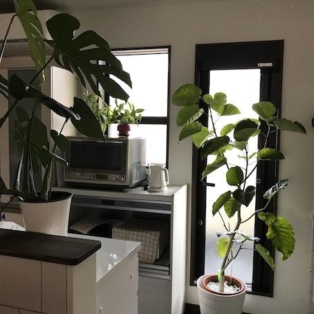 200308キッチンの植物